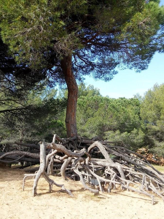 pin_sur_le_sentier_des_vignes_dune _de_sable